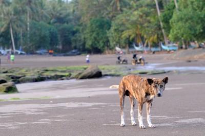 バリ島のビーチの犬
