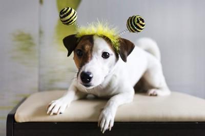 ハチの被り物したジャックラッセル