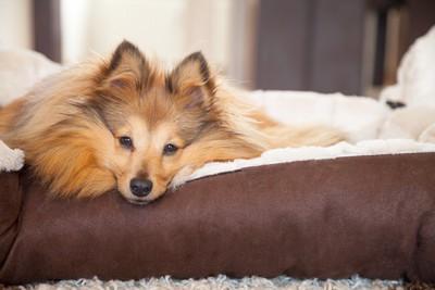 ブラウンのベッドの縁にアゴを乗せている犬