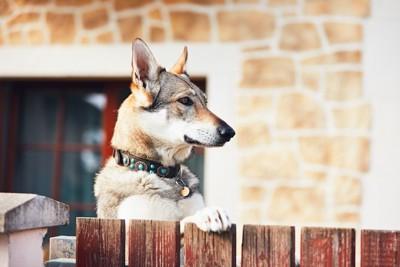 立ち上がって何かを見つめる犬の横顔