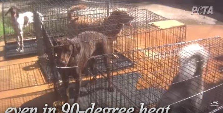 直射日光の下に放置された犬たち