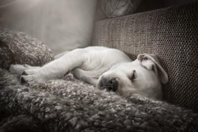 眠るラブラドールレトリーバーの子犬