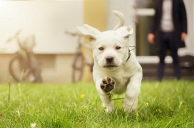 芝生を真っすぐ走ってくる白い子犬