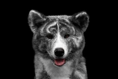 舌を出す虎毛の秋田犬