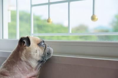窓の外を見つめるパグの子犬