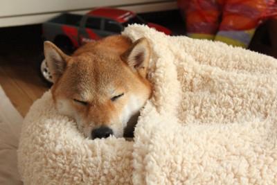 犬用ベッドに潜り込んで眠る柴犬