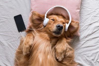 イヤホンを当てて仰向けに寝転んでいる犬