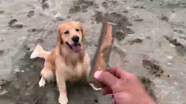 木の棒を見る犬
