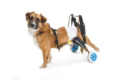 マナーパッドを着けた車椅子の犬