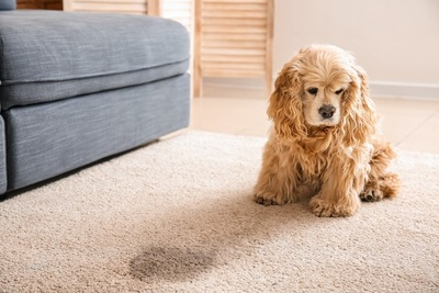 カーペットにおしっこをしてしょんぼりしている犬
