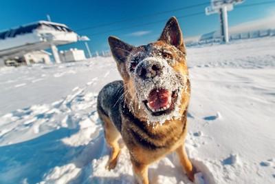 顔に雪をつけた犬