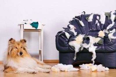 ボロボロのソファーとくつろぐ犬
