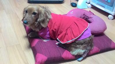 愛犬のしっぽを後ろから見た様子(赤い洋服を着ている)