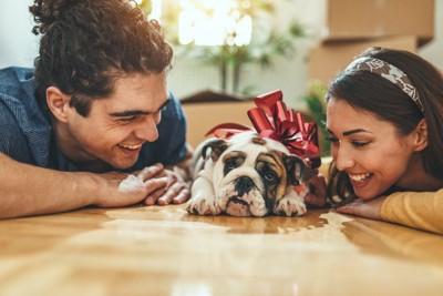 床に伏せるブルドッグの子犬とカップル