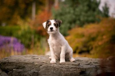 パーソンラッセルテリアの子犬