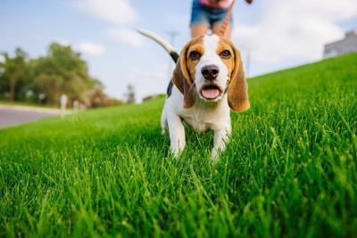 芝生の上を歩くビーグル
