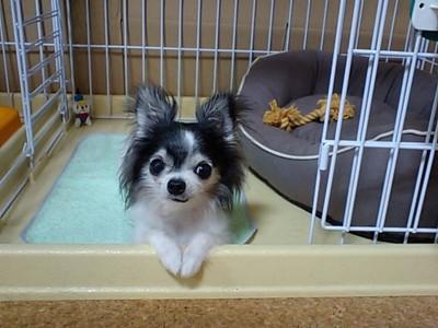 はじめて迎えた保護犬 Chiro