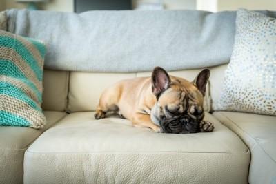 ソファーで眠るフレブル
