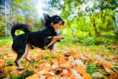 枯れ葉で遊ぶロングコートチワワ