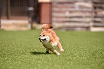 嬉しそうに走る柴犬