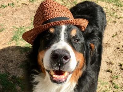 帽子をかぶったバーニーズマウンテンドッグ