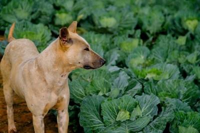 キャベツ畑をにらむ犬