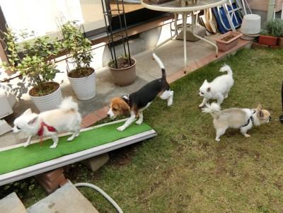 スロープを渡る犬たち
