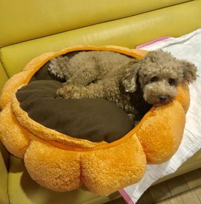 犬用ベッドで寛ぐトイプードル