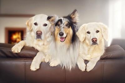ソファーからこちらを見る3匹の犬