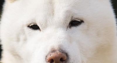 白い犬の目  136618086