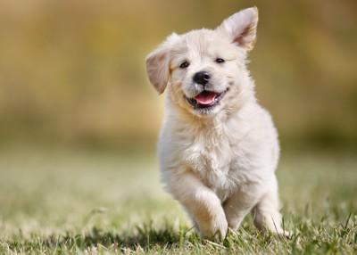 走るゴールデンレトリーバーの子犬