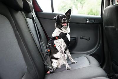 車内でベルトで固定され椅子に座っている犬