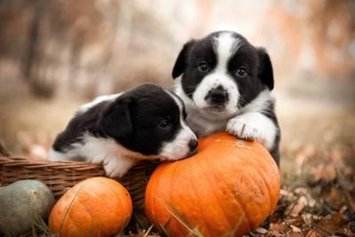 かぼちゃの匂いを嗅ぐ子犬