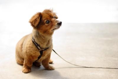 ダックスのミックス犬