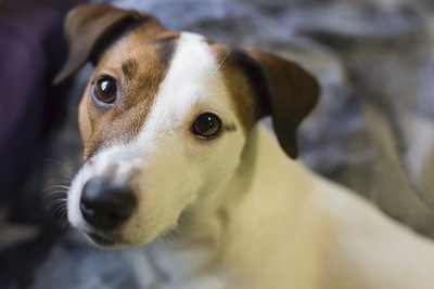 つぶらな瞳で見つめる犬の顔アップ