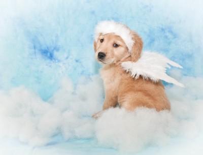 天使の仮装をしたラブラドールの子犬