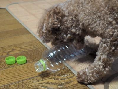 ペットボトルで遊ぶトイプードルとボトルキャップ