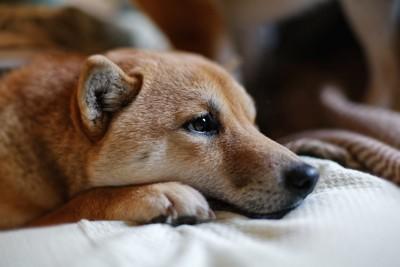 布団の上でくつろぐ犬の横顔