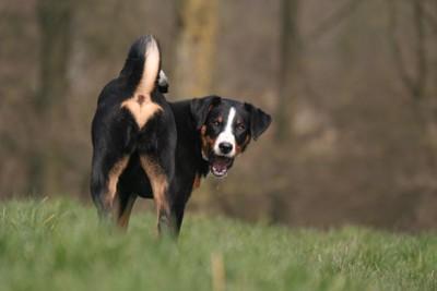 芝生でおしりを向けて振り向く犬