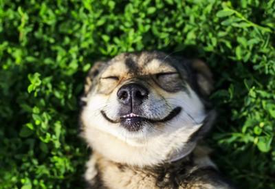 仰向けに寝転んで微笑む犬