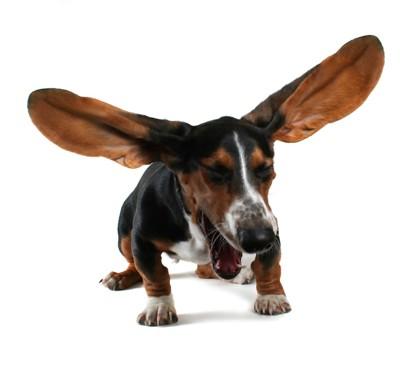 くしゃみをしている大きな耳の犬