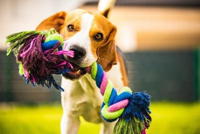 オモチャを咥えて遊ぶ犬