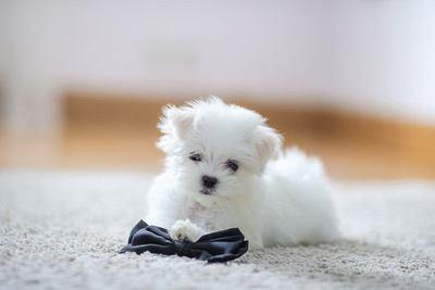 リボンで遊ぶマルチーズの幼犬