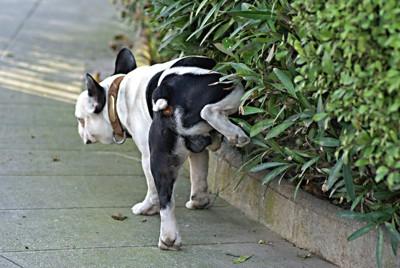散歩中におしっこをする犬