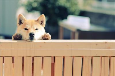 柵から覗く柴犬
