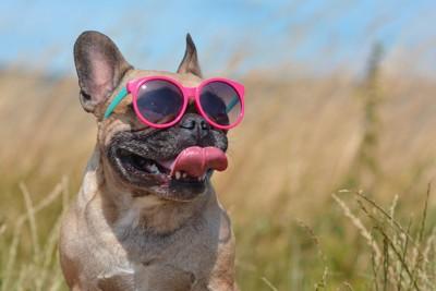 暑そうに舌を出すサングラスをしたフレブル
