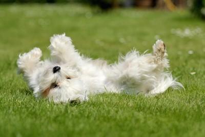 芝生に転がる白い長毛の犬