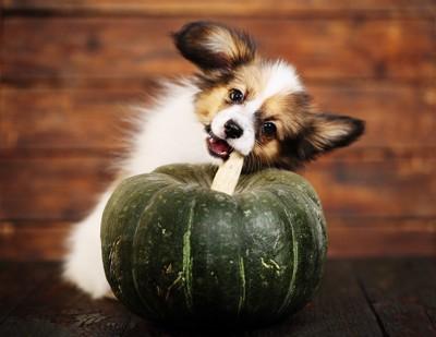 かぼちゃの茎を噛む犬