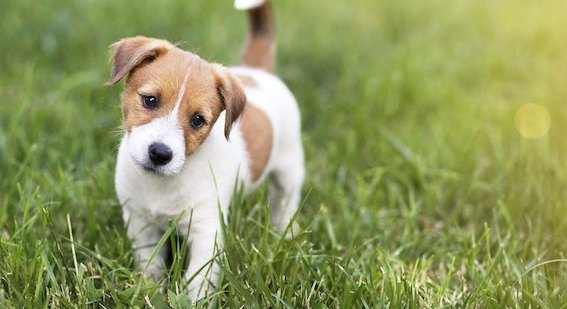 芝生に立つジャックラッセルテリアの子犬