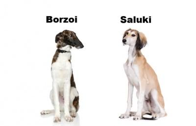 ボルゾイとサルーキ